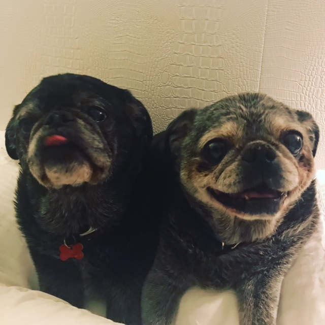 Che and Blue the Pugs